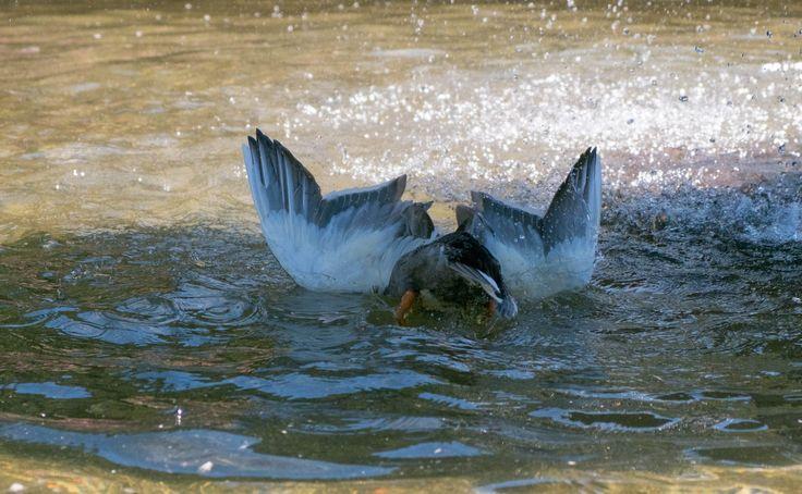 When fishing is a thing! #fujifilmxt2 #nature #ducks #water — at Wellington Botanic Garden.