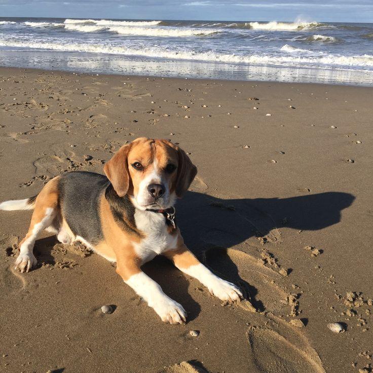 By Anne-Jolijn #beagle #dog
