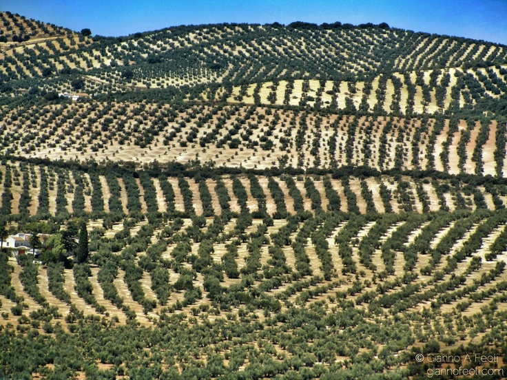 Andalucia's Olive Groves