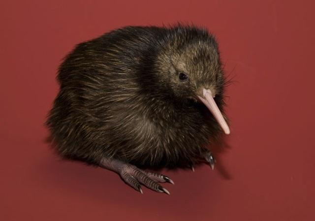 baby kiwi bird | animals | Pinterest