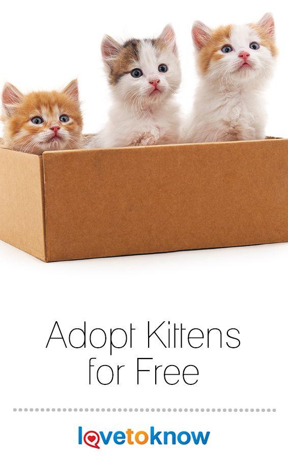 Where To Adopt Kittens For Free Kittens Kittens Near Me Cat Adoption