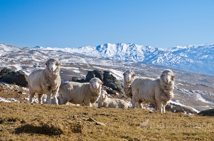 Merino sheep graze on Duffers Saddle, Bannockburn Cromwell. Snow covered mountains in background. Winter, Central Otago, South Island, New Zealand