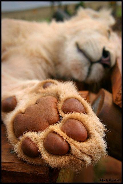 Lion paw close up :): Animal Planets, Cat, Sleepy Lion, Animal Kingdom, Dogs Paw Prints, Lion Paw Tattoo, Tattoo Paw Prints Lion, Puppies Paw, Big Kitty