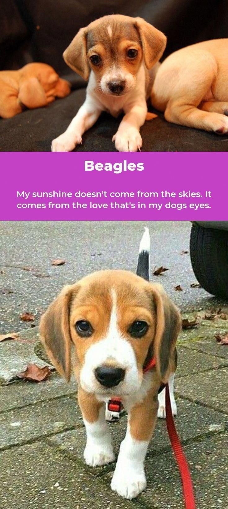 Beagle Facts Beagle Beagle Facts Beagle Beagle Puppy