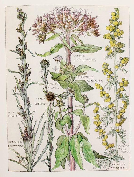 1910 Botanical Print by H. Isabel Adams: Daisy Family, Common Hemp Agrimony, Worm Wood, Wood Cudweed, Filago