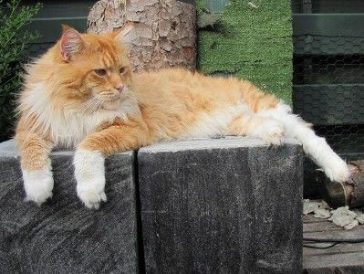 Maine Coon, Red Tabby Mackerel & White (d 09 23). CH.MT.CATHLI'S  HOT ITEM