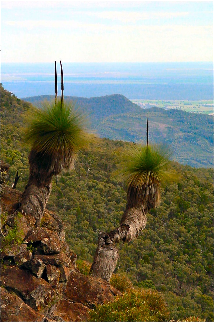 Xanthorrhoea johnsonii (Grass Tree) on the Mount Yulludinida Track - Ausemade.com.au