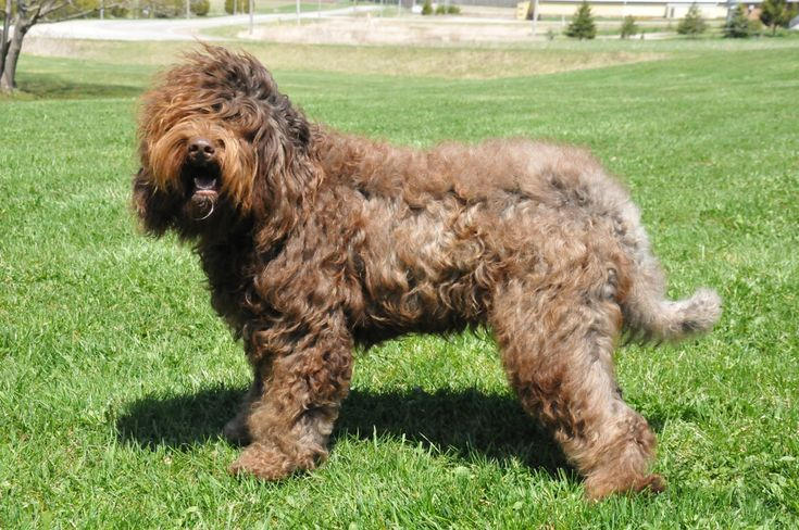 Barbet Dog Breeds Pictures