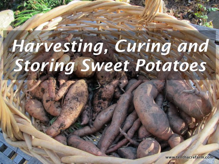 The process for harvesting, curing, and storing sweet potatoes is simple once you get the hang of it. The sweet taste of these homegrown, orange gems will be al