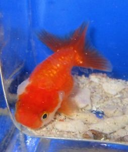 lionhead goldfish   ... about Red and White Ranchu Lionhead Goldfish Live Freshwater Fish