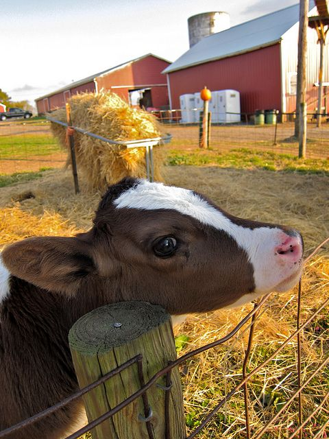 Little brown and white calf