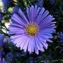Aster: Nectar & Pollen source, but not all Asters provide good Nectar source. Hardiness Zones 3-8
