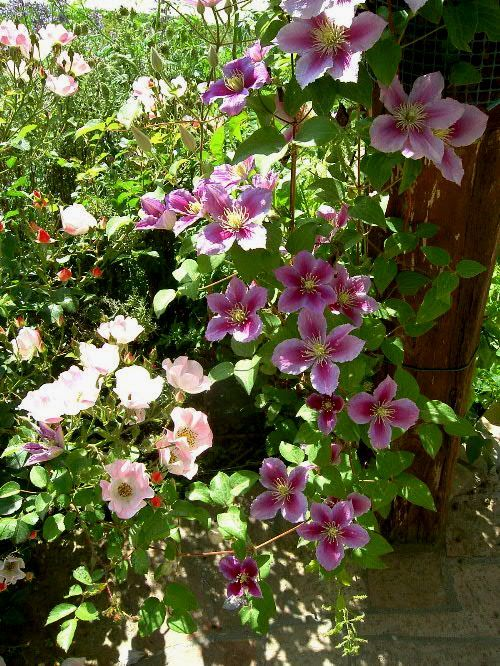 177 best garden pretty combinations images on pinterest for Mal bianco rose