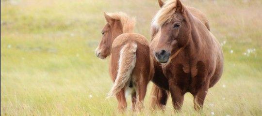 I cavalli sono, insieme alle pecore, gli animali simbolo dell'Islanda. Seppur di piccole dimensioni, a volte somigliano a dei veri e propri pony, sono considerati a pieno titolo tra le razze più …