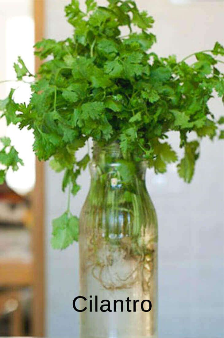 Best Fruits And Vegetables You Can Regrow From Kitchen Scraps Grow Cilantro Indoors Growing Cilantro Plants You Can Regrow,Bird Wings Folded