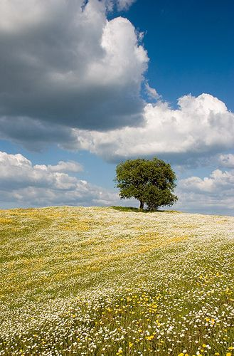 spring meadow with a cork tree in the background, Alentejo, Portugal