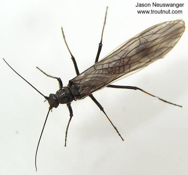 how to catch black flies