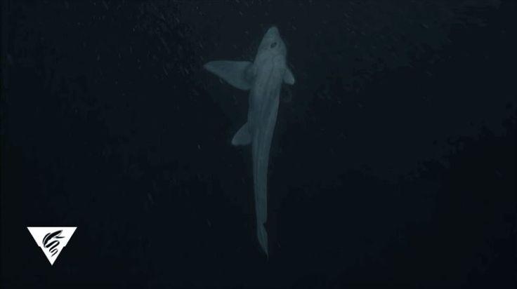 謎につつまれた深海魚ゴーストシャークの祖先が明らかに