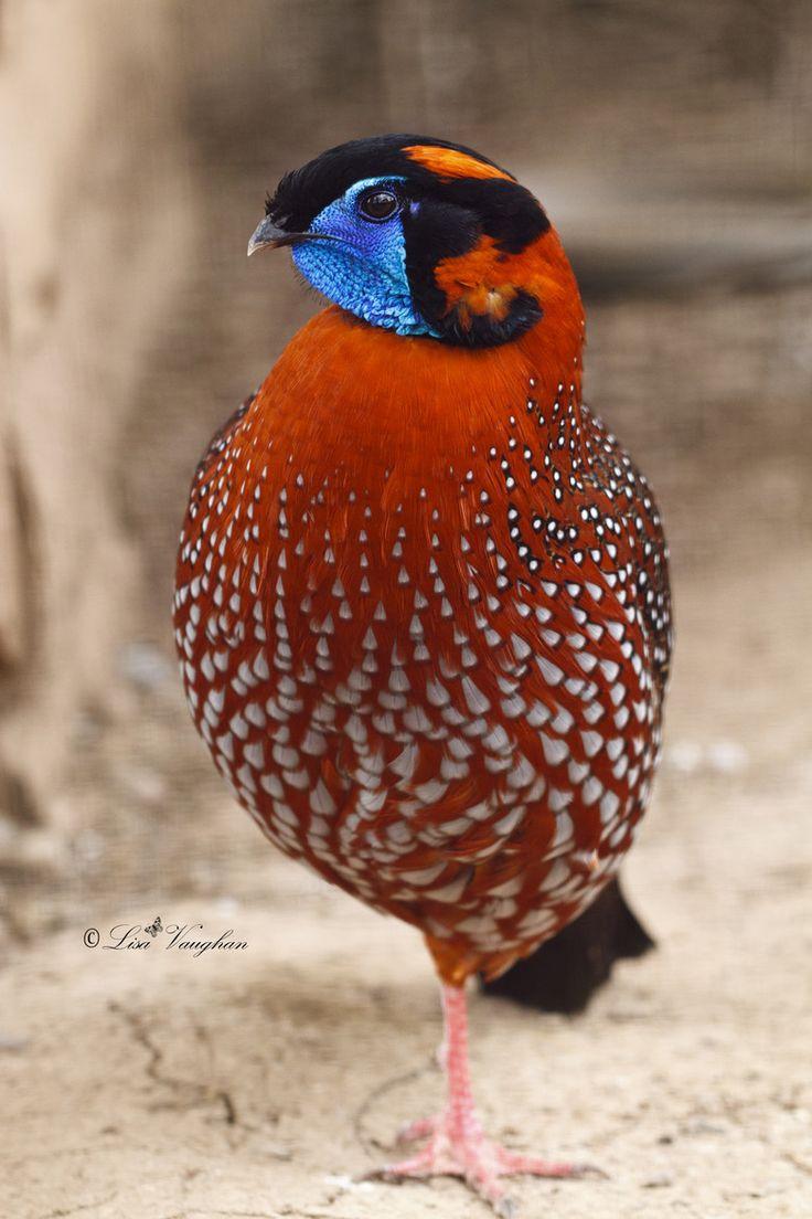 419 best birds phasianidae family galliformes order images on