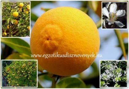 Télálló citrom, Vadcitrom (30cm) (Poncirus trifoliata): Citrusfélék | Ár: 1000.00 Ft