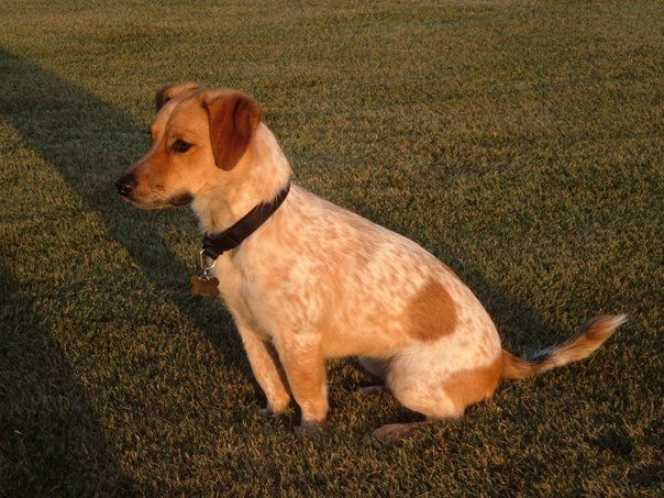 Queensland Heeler Jack-Russell Terrier Mix - Dog crossbreed - Wikipedia, the free encyclopedia