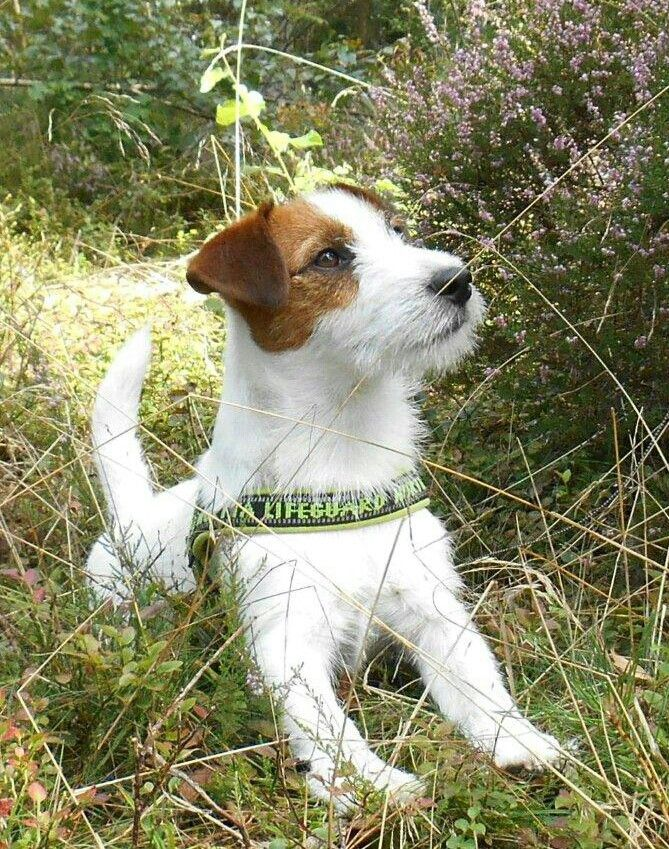 #Gijsmans. Lovely Gijs #jrt #jackrussellterrier.