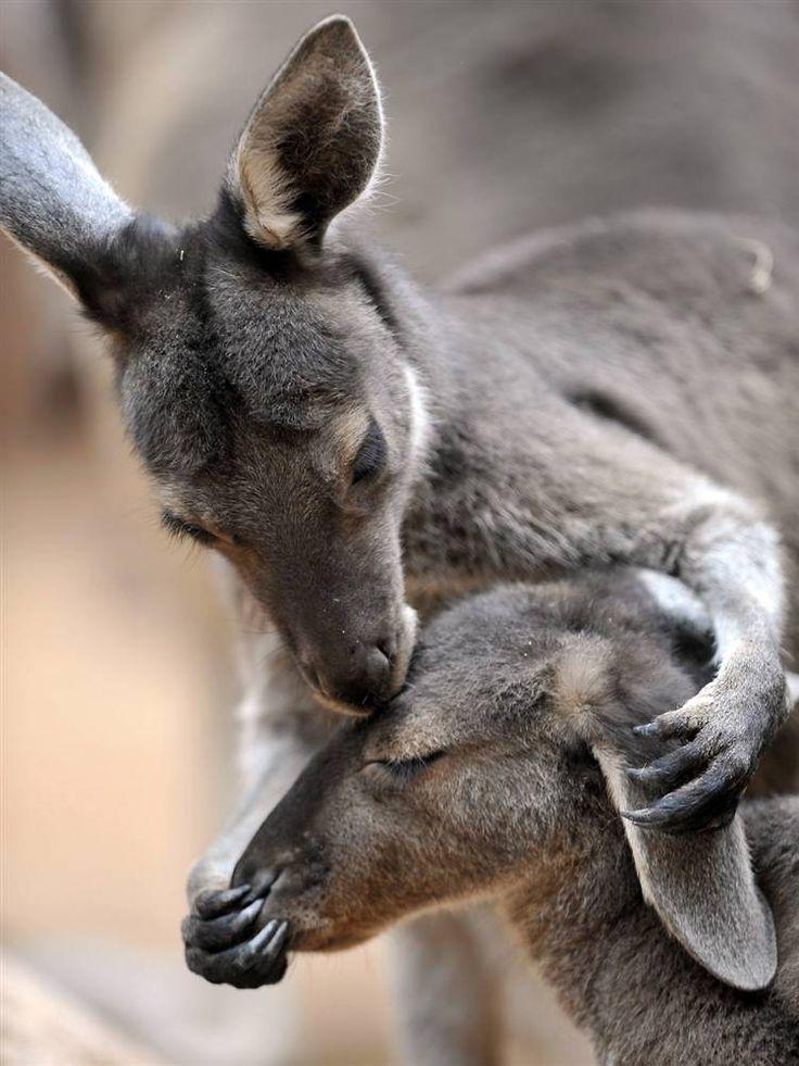 Kangaroos kiss!