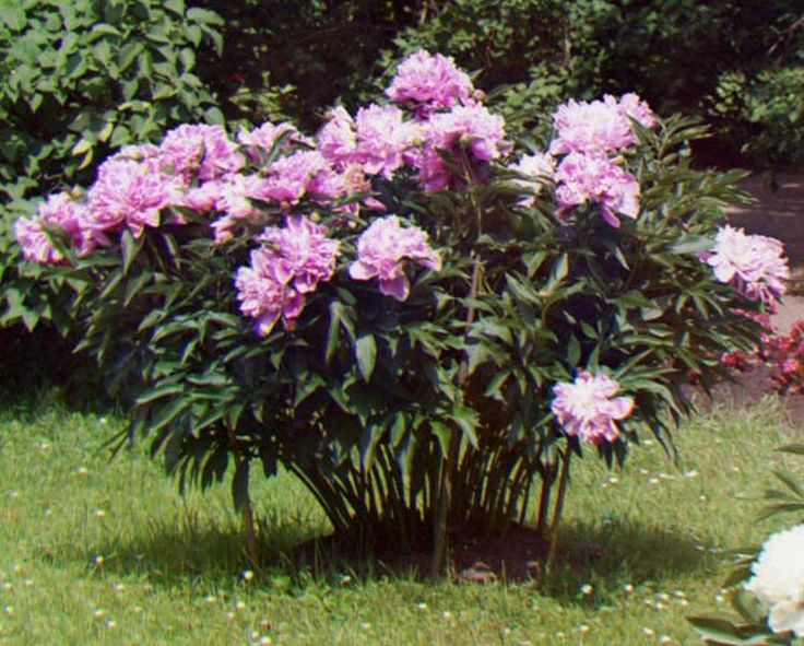 Peonies are garden favorites because they bloom early in profusion. They are also some of the longest-lived perennials, blooming for decades and demanding little care. Peonies generally do not grow tr...