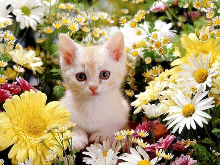Cat Desktop Wallpaper Free Hd Images Of Cat Ultra Hd 4k Kittens Cutest Cat Flowers Cute Baby Cats