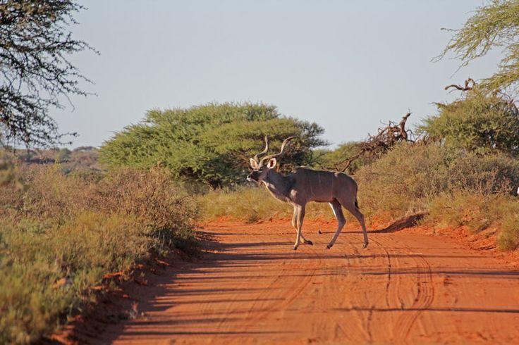 Male Kudu in the Mokala N.P. near Kimberley (South Africa)
