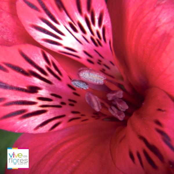Alstroemeria Roja, la perfecta selección para demostrar lo que sientes...Búscalas en vivelasflores.com y déjate sorprender por su tamaño y larga vida en florero.
