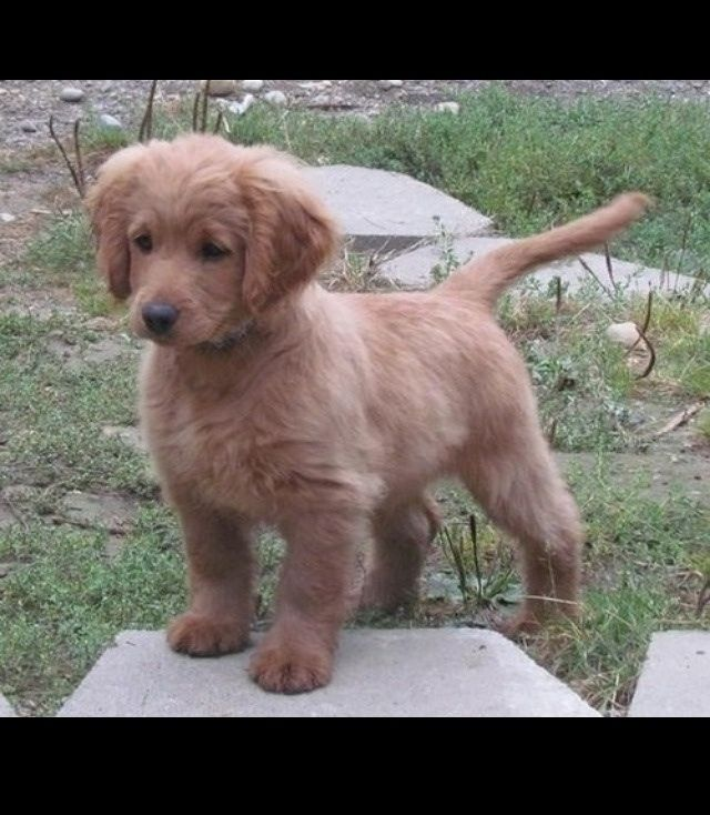 A fully grown Golden Cocker Retriever. The forever puppy ...