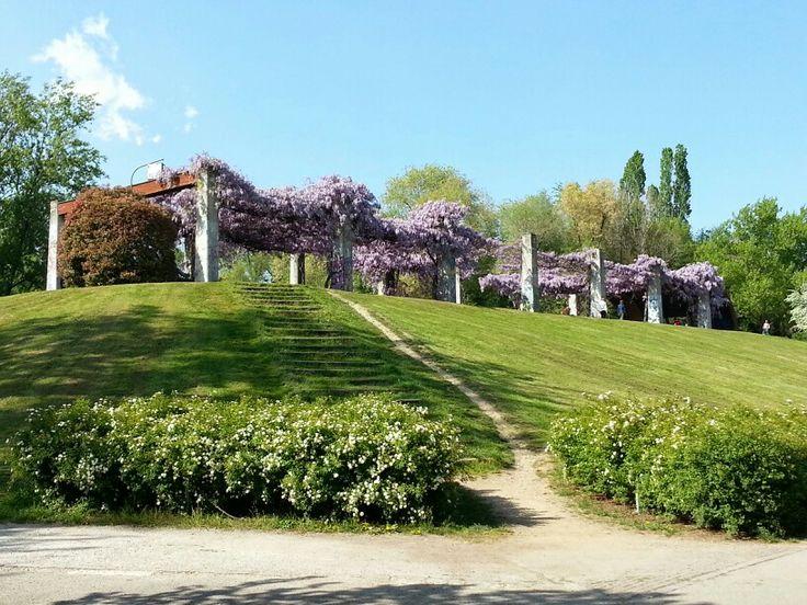 Glicine del Parco Nord Milano