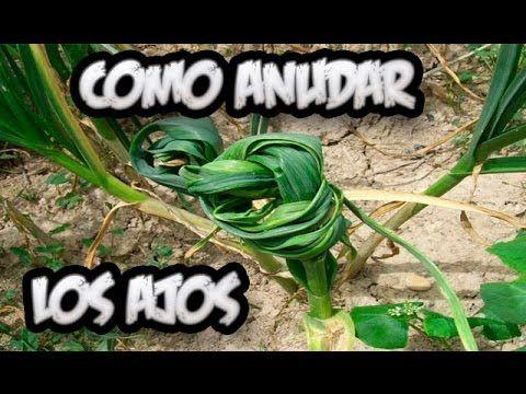 Como Atar Los Ajos En El Huerto    Huerta Organica    La Huertina De Toni - YouTube