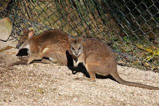 Parma wallaby (Macropus parma) é uma espécie de marsupial da família Macropodidae. Endêmica da Austrália, onde é restrita a Nova Gales do Sul.