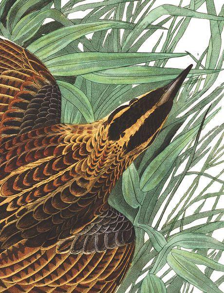 John James Audubon's Birds of America   Audubon