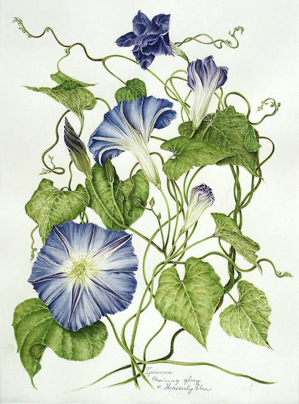 Heavenly Blue morning glory botanical illustrations by milly acharya