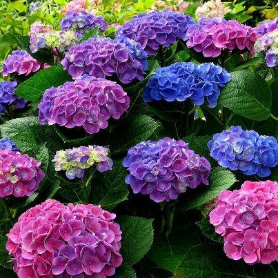 Hydrangeas! My favorite flower, and a perfect indication of summertime when they are blooming in the south