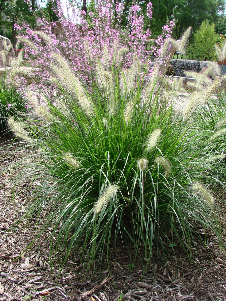 Prairie dropseed front yard pinterest for Ornamental grass front yard