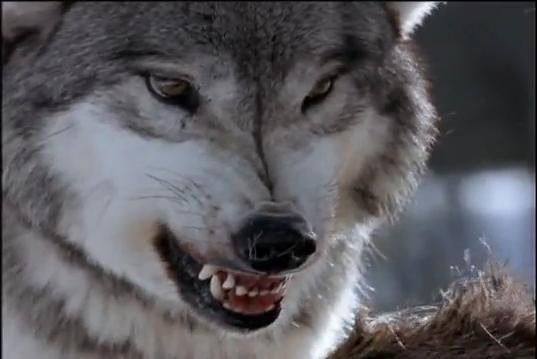 White Wolf : Living with Wolves - The story of Jim and Jamie ...