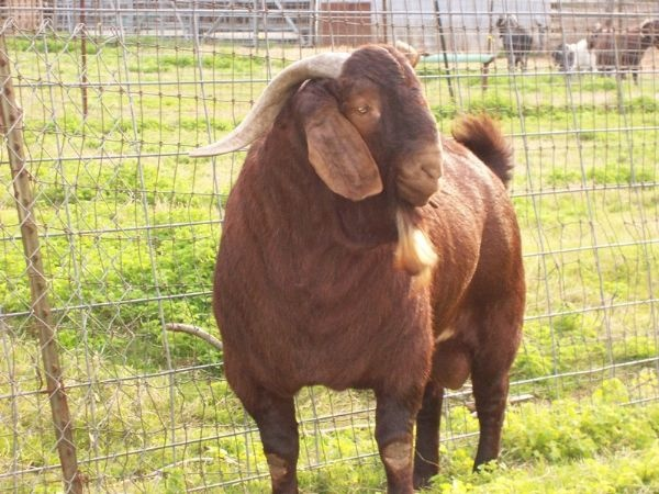 Macho Grande. Fullblood Red Boer goat
