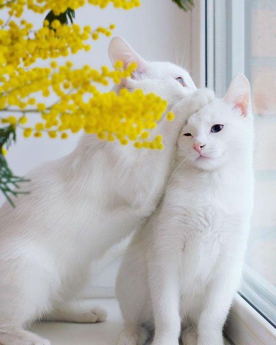 ロシアのサンクトペテルブルクに住んでいる双子のオッドアイ白猫がとても美しいと人気です。