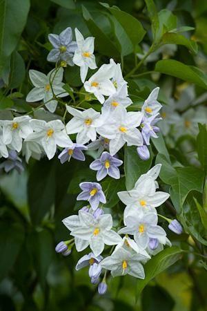 Solanum jasminoides 'Alba' grimpante et son feuillage perdure en hiver