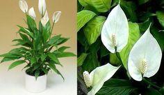 Зеленый спатифиллум: уход за белым парусом в вашем доме