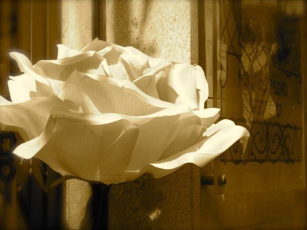 rose in Pisa