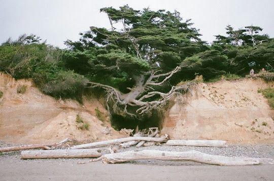 """Ada sebuah pohon istimewa yang hidup di pantai Kalaloch, termasuk dalam bagian Taman Nasional di Washington. Banyak orang menyebutnya dengan """"Pohon Kehidupan"""" karena ada yang sangat ajaib. Pohon ini menggantung di udara, dan seharusnya sudah mati bertahun-tahun lalu."""