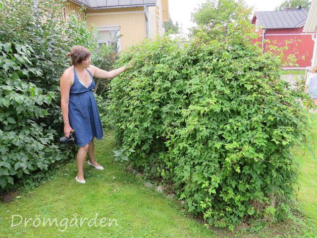 Hekk av klematis, midt i hagen! Med støtte (armeringjern?) i.