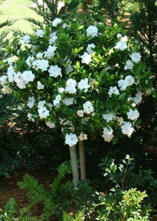 August Beauty Gardenia Tree - we have to have a gardenia