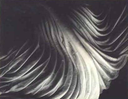 Edward Weston, Cabbage leaf (1931)