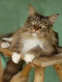The Maine Coon Personality